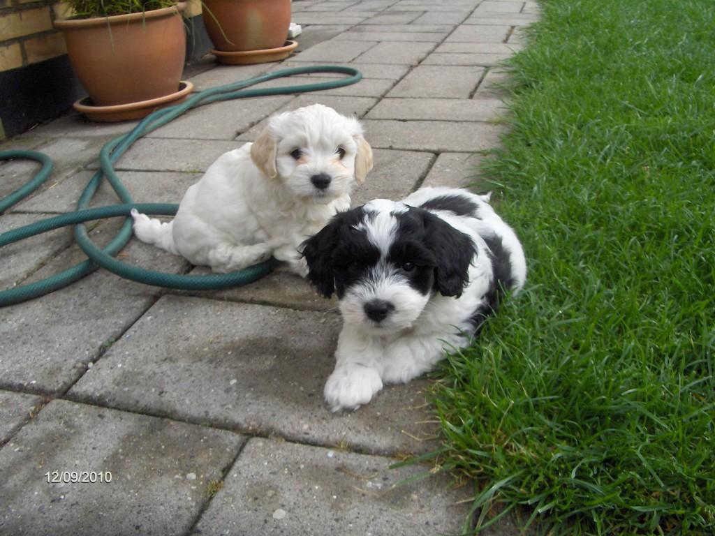 Daisy og Domino