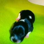 Kingo 1 uge gammel