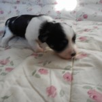 Panda 2 uger gammel