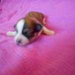 Paprika 1 uge gammel